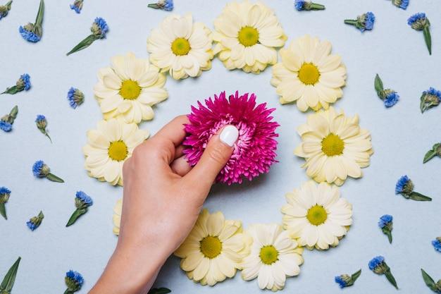Une main féminine avec manucure blanche met des fleurs violettes et jaunes sur une surface bleue
