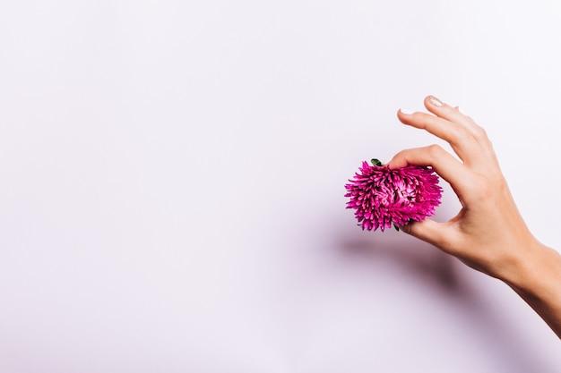 Main féminine avec manucure tenant une fleur rose sur fond blanc