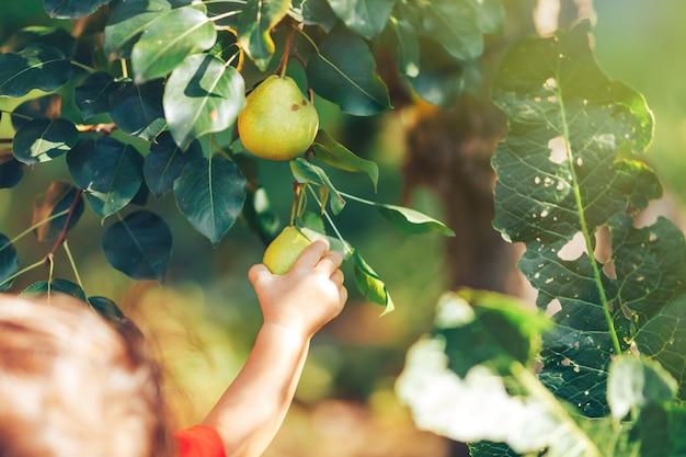 Main féminine montrant une branche avec des poires vertes au moment des récoltes dans le jardin