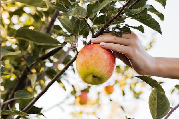 La main féminine tient une belle pomme rouge savoureuse sur une branche de pommier dans un verger, la récolte. récolte d'automne dans le jardin à l'extérieur. village, style rustique.