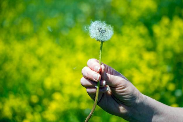 La main féminine tient une fleur de pissenlit. les graines de pissenlit volent sur fond de bokeh jaune-vert