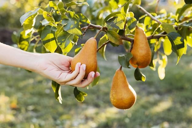 La main féminine tient la poire mûre savoureuse et juteuse fraîche sur une branche de poirier dans le verger, la récolte. récolte de poires dans le jardin à l'extérieur