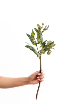 Main féminine tient une seule branche de fleur d'ellébore vert isoler sur blanc