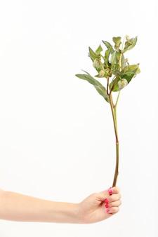 La main féminine tient une seule branche de fleur d'hellébore vert sur mur blanc