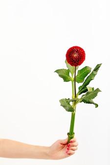 Main féminine tient une seule fleur de dahlia sur un mur blanc