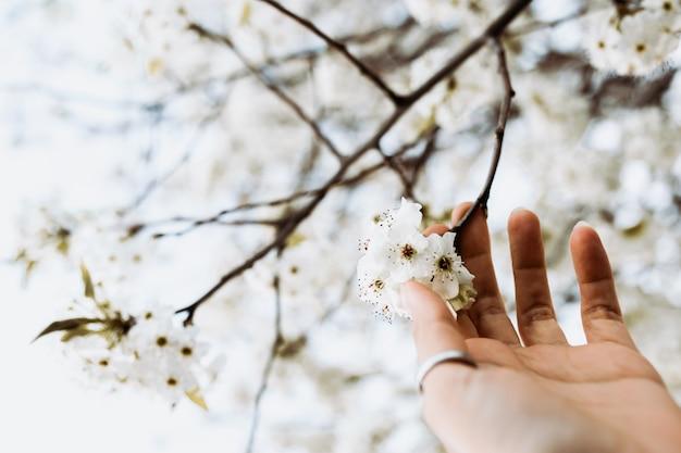 Main de femme avec des anneaux cueillant des fleurs blanches d'une branche au printemps