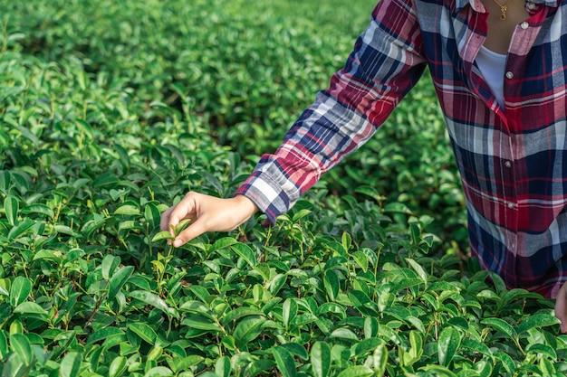 Main de femme asiatique ramasser les feuilles de thé de la plantation de thé