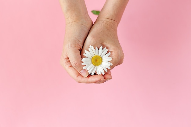 Main de femme avec une camomille isolée sur fond rose. soins pour la peau des mains.