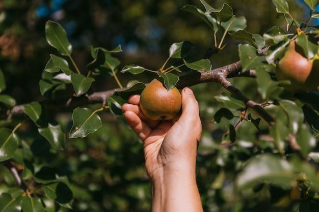 La main d'une femme cueille une poire mûre sur une branche d'arbre.