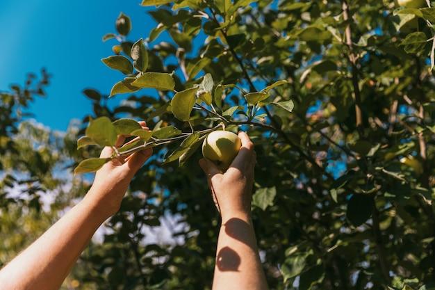 La main d'une femme cueille des pommes mûres d'un arbre dans un jardin d'été