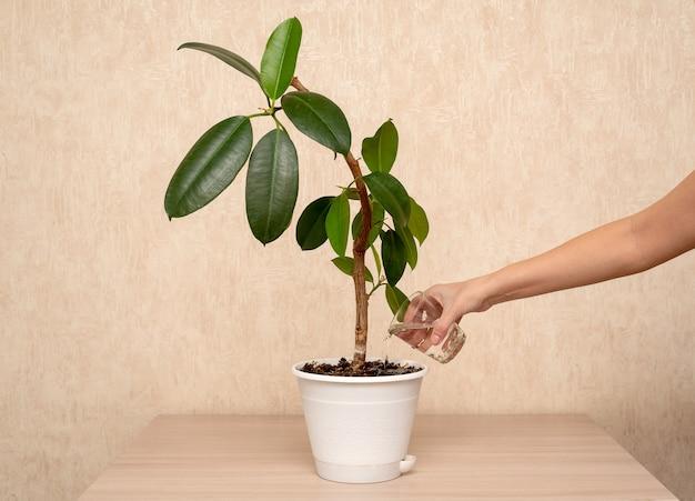 La main d'une femme à la maison sur la table arrose une fleur dans un pot avec un verre.