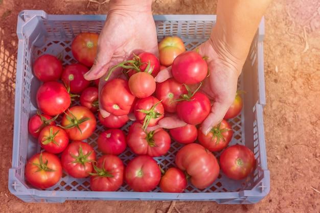 Main femme récoltant des tomates biologiques fraîches dans une boîte.