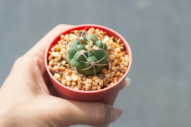 Main de femme tenant un pot de cactus gymnocalicium,