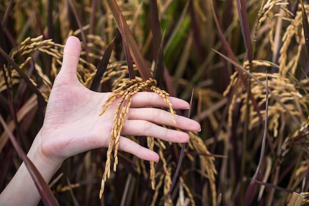 Main de femme tenir le riz mûr jaune