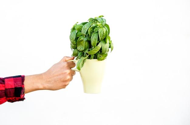 La main de la femme tient un bouquet de basilic frais dans une tasse de surface blanche