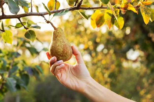 Main de femme tient une poire mûre savoureuse et juteuse fraîche sur une branche