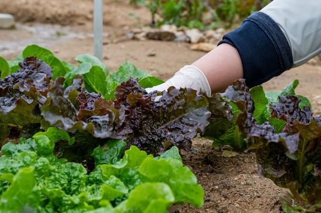 La main de l'homme cueille des feuilles de légumes frais poussant dans le sol.