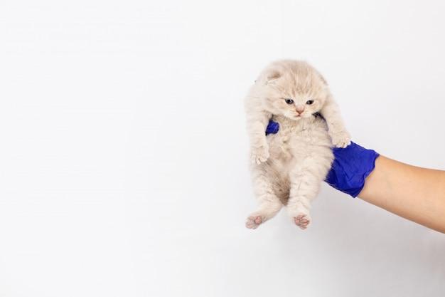 Main d'un homme dans un gant en caoutchouc bleu tient un chaton