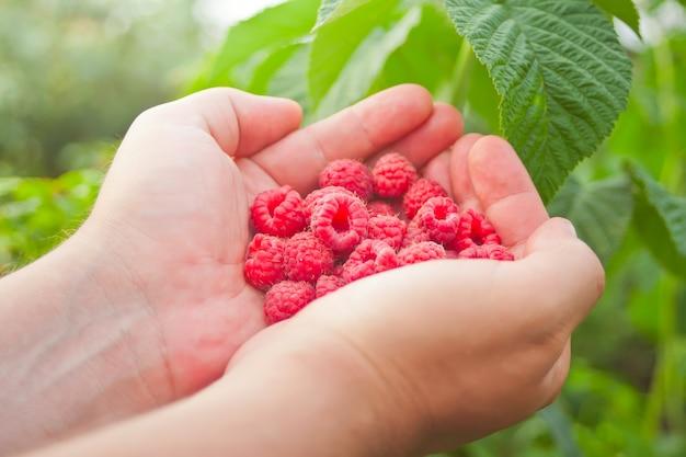 Main de l'homme avec de grosses framboises rouges. savoureux fruits rouges mûrs.