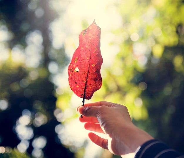 Main de l'homme tenant des feuilles tombées dans les bois