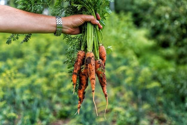 La main d'un homme tient une carotte fraîche