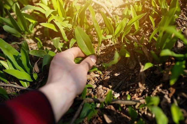 Main humaine cueillant des feuilles d'ail d'ours dans la forêt de printemps