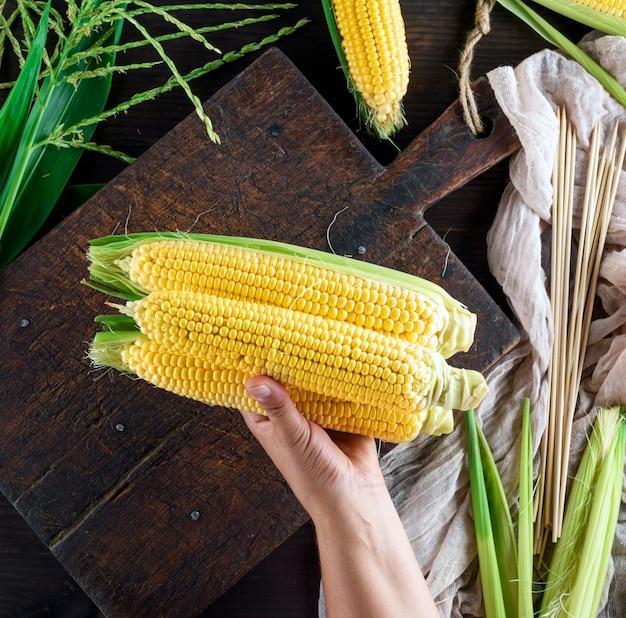 Main humaine détient trois épis de maïs jaune mûr