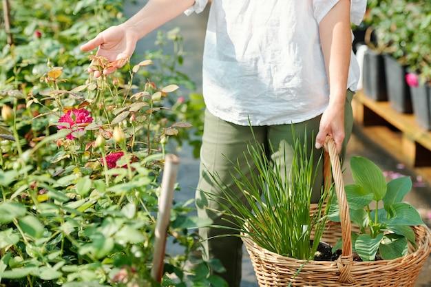 Main de jardinière contemporaine avec panier tenant des feuilles de roses roses en croissance tout en se tenant près de l'un des petits buissons en serre