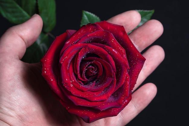 La main masculine tient doucement un gros plan de bouton de rose rouge