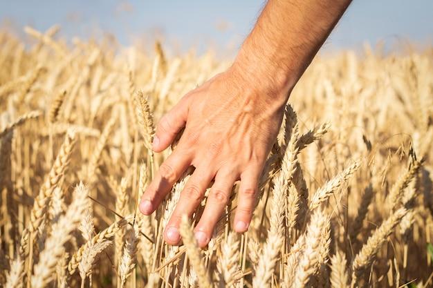 La main masculine touche les épis de blé ou d'orge sur le terrain. bon concept de récolte, céréales, produit naturel.