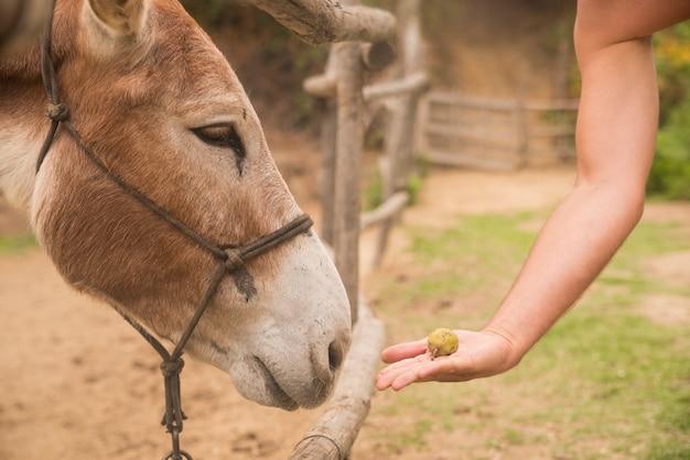 Main avec de la nourriture et de l'âne