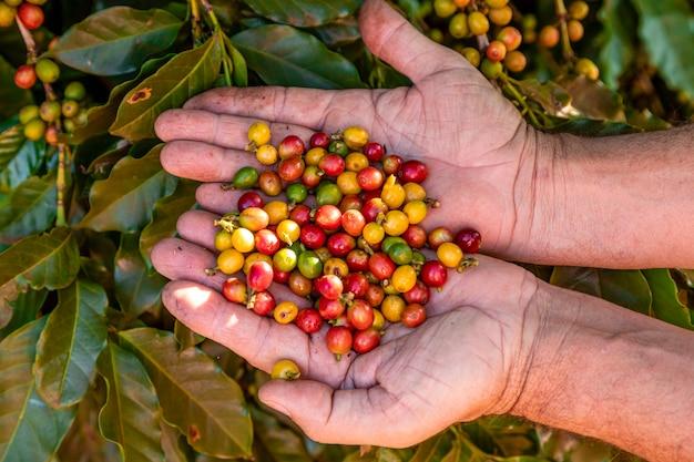 La main d'une personne tenant des grains de café sur l'arbre.