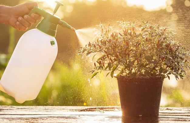 Main tenant un arrosoir et un spray sur une jeune plante dans le jardin