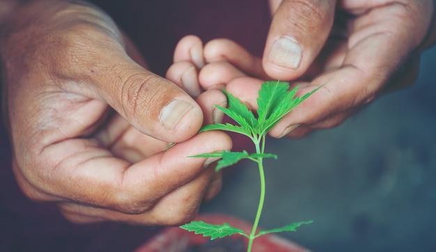 Main tenant une feuille de marijuana