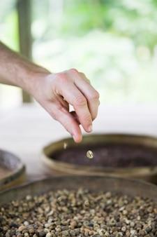 Main tenant des grains de café kopi luwak crus dans une ferme de café