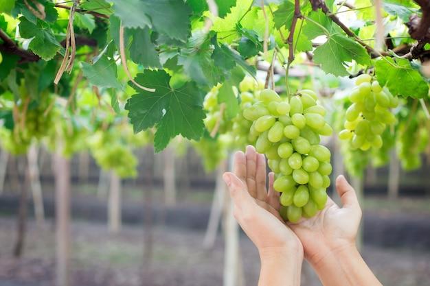 Main tenant une grappe de raisins verts frais suspendu à un buisson