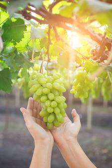 Main tenant une grappe de raisins verts frais suspendu à un bus