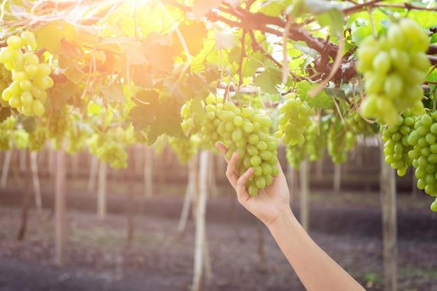 Main tenant une grappe de raisins verts frais suspendus à un buisson