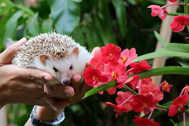 Main tenant mignon jeune hérisson avec des feuilles vertes orcid rouge fond animal et nature concept