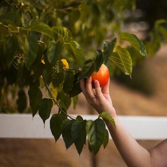 Main tenant la pomme mûre sur l'arbre