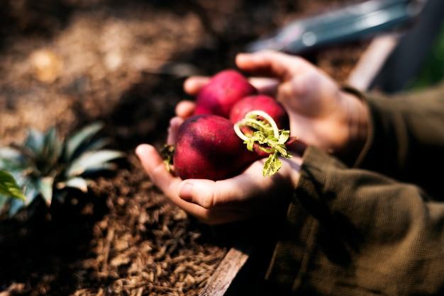 Main tenant un produit naturel de radis organique frais
