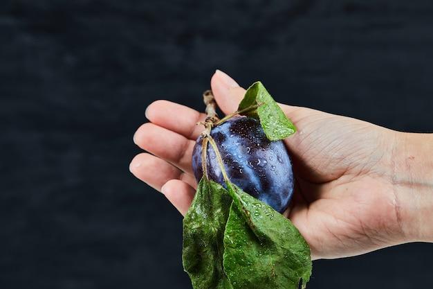 Main tenant une prune fraîche sur fond noir.