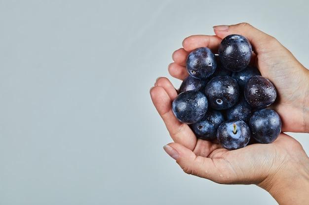 Main tenant des prunes fraîches sur fond gris