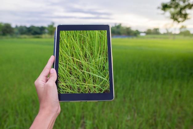Main tenant la tablette dans la rizière