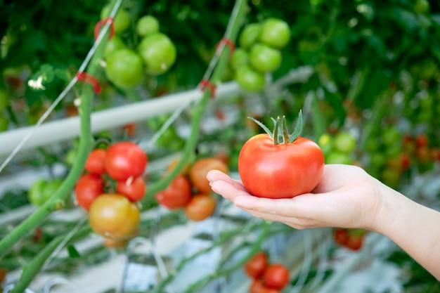 Main tenant des tomates mûres rouges cultivées en serre