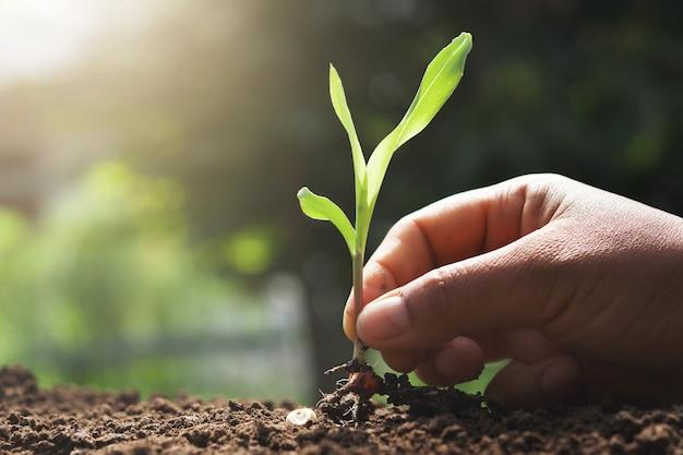 Main, tenue, jeune, maïs, planter, jardin
