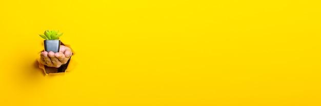 Main tient une fleur d'intérieur sur jaune