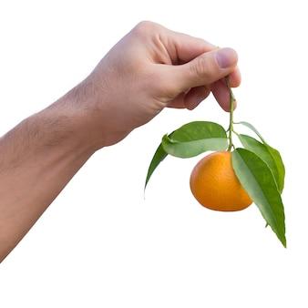 Main tient la mandarine mûre sur une branche