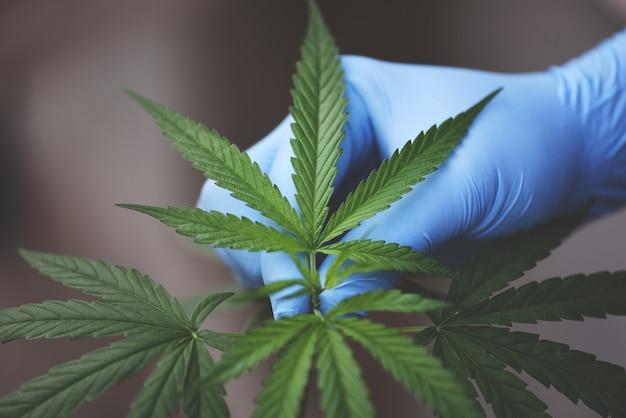 La main touche le cannabis laisse la plante de marijuana poussant sur l'obscurité