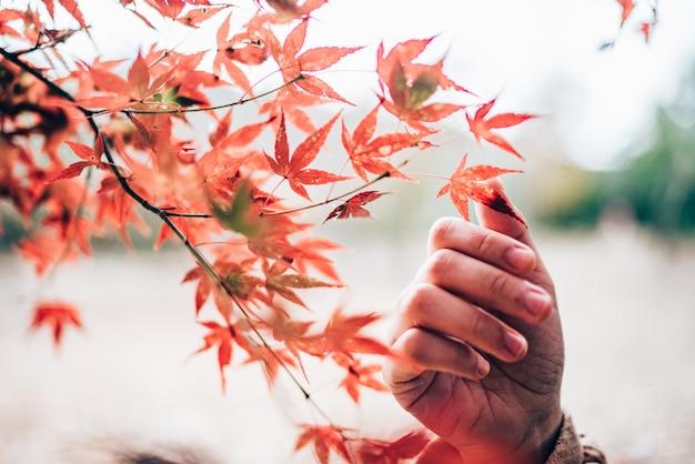 La main touche les feuilles d'érable rouge dans le jardin